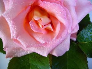 raindrop-rose-57478_640
