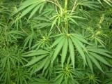 Cannabis_01_bgiu