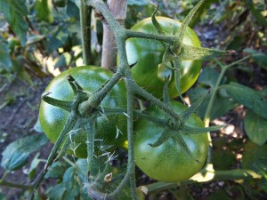 tomatoes-534409_640